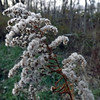 Winter weeds, taken at my farm in Richland Township.<br /> <br /> Photographer's Name: J.R. Rosencrans<br /> Photographer's City and State: Alexandria, Ind.