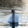 I never get tired of seeing this beautiful swan at Shadyside Lake.<br /> <br /> Photographer's Name: Rita Drews<br /> Photographer's City and State: Anderson, Ind.