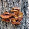 "December ""overnight"" fungi in my woods in Richland Township.<br /> <br /> Photographer's Name: J.R. Rosencrans<br /> Photographer's City and State: Alexandria, Ind."