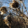 """December thistle"" at my farm in Richland Township.<br /> <br /> Photographer's Name: J.R. Rosencrans<br /> Photographer's City and State: Alexandria, Ind."
