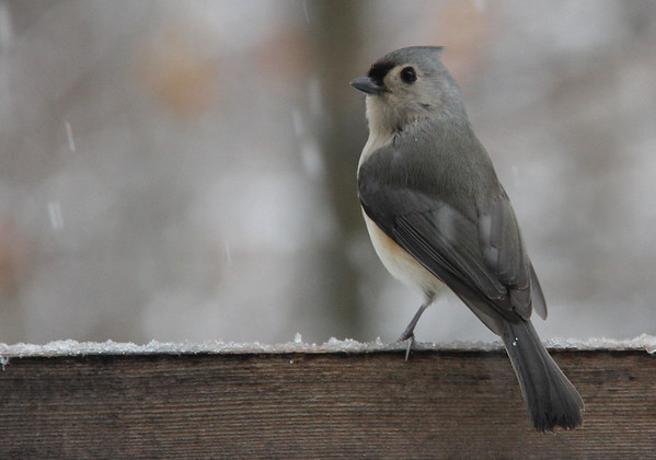 This tufted titmouse was among the many birds feeding at Mounds State Park.<br /> <br /> Photographer's Name: Jerry Byard<br /> Photographer's City and State: Anderson, Ind.