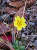Primrose in the garden on the 2nd official day of winter - 22nd December 2013