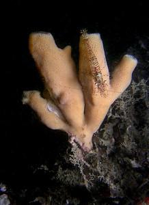 Shrimp on sponge,  Ben Ure Island, October 5, 2008