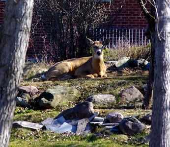 Deer April 2013
