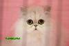 catshow-531