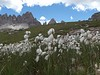 Eriophorum, or cottongrass.