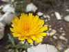 Mountain Hawkbit, an 	Asteraceae.
