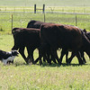 Dell/first time working cows/photo by Susan Severns