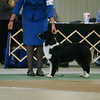 Ch. Evergreens Irish Blessing STDcsd aka Dell, made first cut at ASCA Nationals Best of Breed
