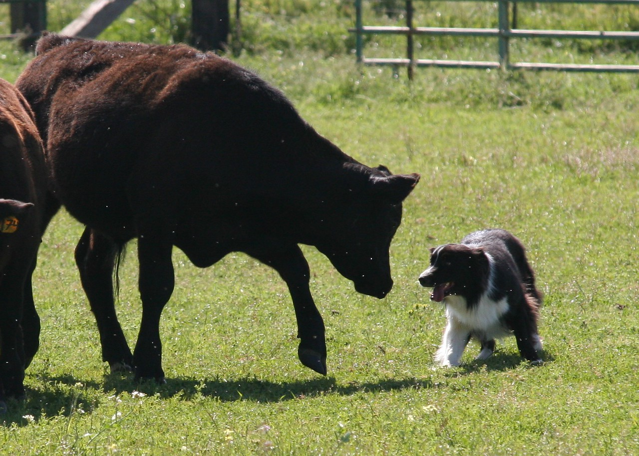 Dell's first time working cattle...photo by Susan Severns