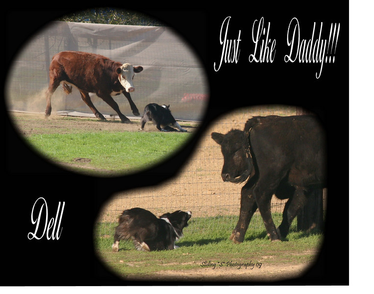 Ch. Evergreen's Irish Blessing STDcsd aka Dell (out of Priceless Eye of the Tiger & bred by Jean Seamen/Evergreen Aussies)