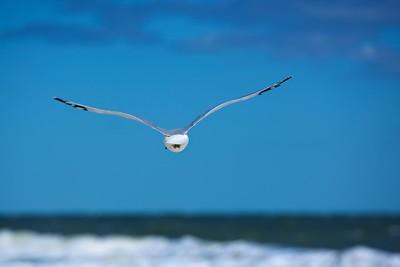 Rehoboth Beach Sea Gull.