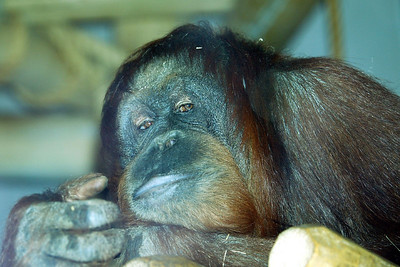 Orangutan through the glass