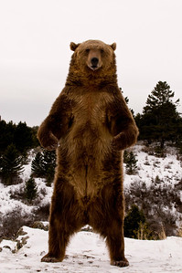 standing bear