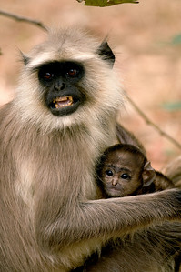 angry langur monkey with baby