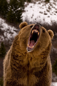 snarling grizzly