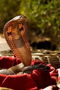 Indian Cobra