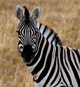 great zebra