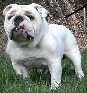 BulldogChampsBossWhiteEnglish