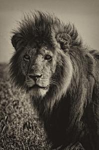 smugmug lion