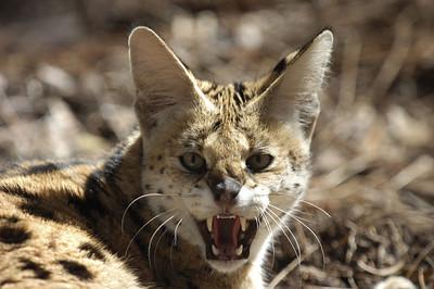 snarling serval