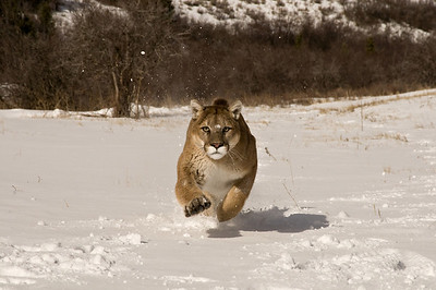 running mountain lion in snow