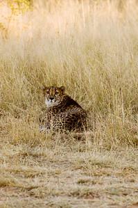 africat cheetah