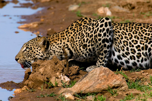 samburu leopard drinking wider shot  copy