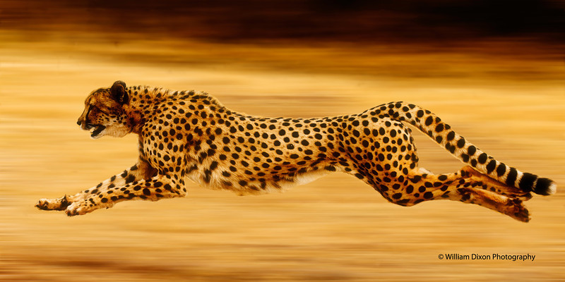 cheetah blur for contest canvas on demand