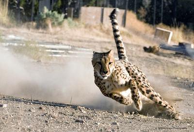 animal ark cheetah 1