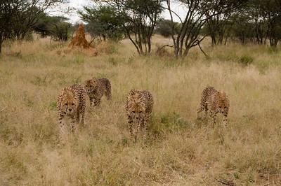 cheetahs with a bad attitude