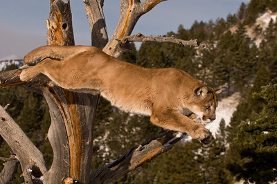 mountain lion leaping from tree