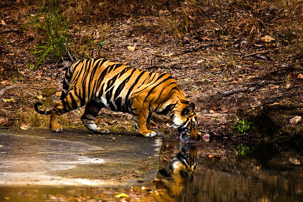 tiger drinking water in Banhavgarh India