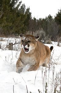 aggressive mountain lion