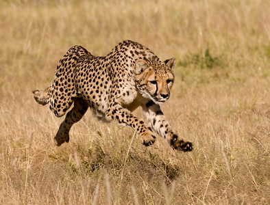 cheetah off the ground