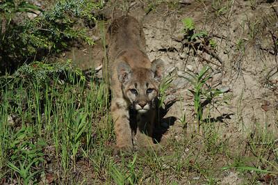 mountain lion cub stalking