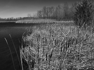 Cattails, Crosswinds Marsh