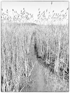 Invasive Reeds, Phragmites