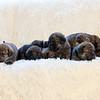 puppies-group-brindle2