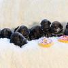 puppies-group-brindle5