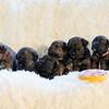 puppies-group-brindle3