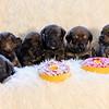 puppies-group-brindle4