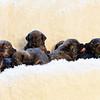 puppies-group-brindle