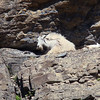 Mountain Goat on cave-like precipice with resting kid.  Near Logan Pass