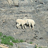 Two young mountain goat kids perched on an almost vertical face.