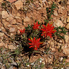 Not identified but looks somewhat like Indian Paintbrush