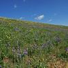 Blue Lupine and Golden Asters cover this hillside