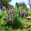 This is Purple Fringe, another beautiful mountain flower that likes high country.