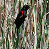 Handsome red-winged blackbird in the rushes near Dry Falls Lake.