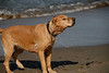 Digby at Crissy Field : Digby at Crissy Field, Oct 9, 2008.